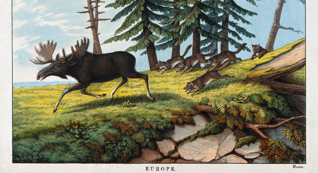 connor-goodwolf-a-pack-of-wolves-chasing-a-moose-coloured-lithograph-wellcome-v0022838